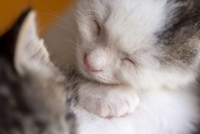 Twee babykatten het slapen stock afbeelding