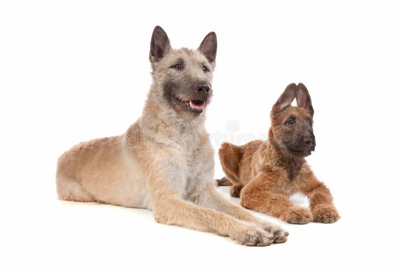 Twee Belgische herdershonden stock foto