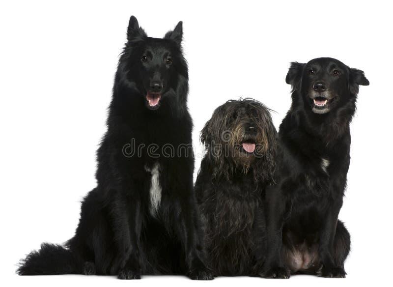 Twee Belgische herdershonden en een hond van het mengen-Ras stock afbeeldingen