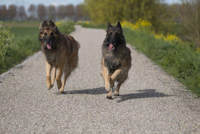 Twee Belgische honden die van HerdersTervuren buiten lopen stock fotografie