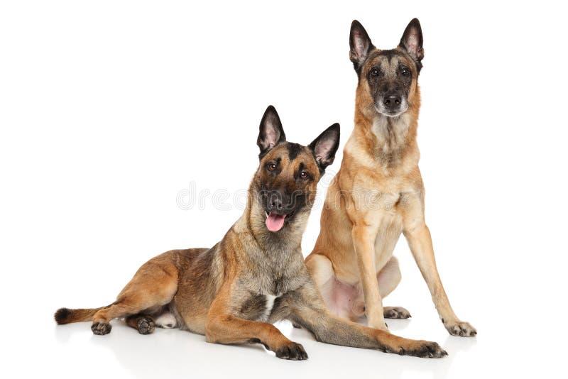 Twee Belgische Malinois-herdershonden stock foto