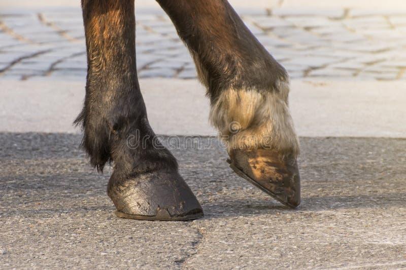 Twee benen van een paard` s hoef, één die been boven de oppervlakte wordt opgeheven stock foto