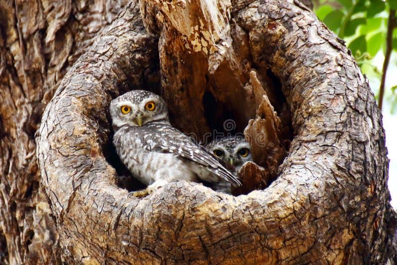 Twee Bevlekte Jonge uilen royalty-vrije stock fotografie