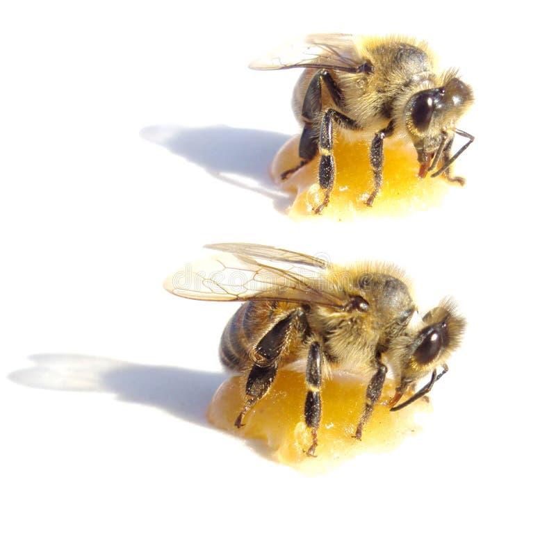 Twee bijen die honing over witte achtergrond eten stock afbeeldingen