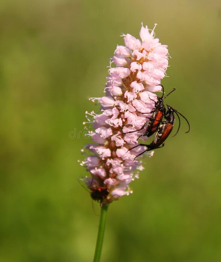 Twee bijen op roze bloem stock afbeeldingen