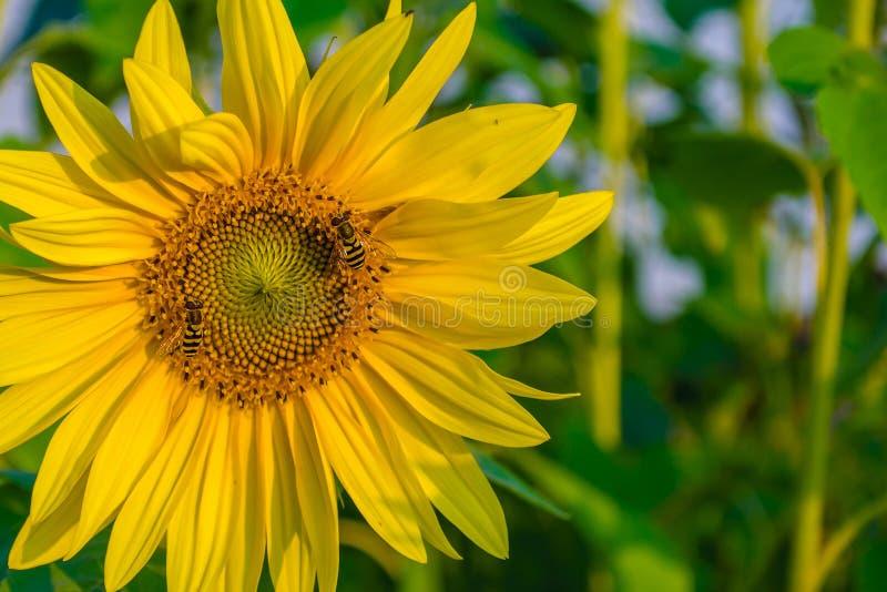 Twee bijen verzamelen stuifmeel op een gele zonnebloem royalty-vrije stock afbeelding