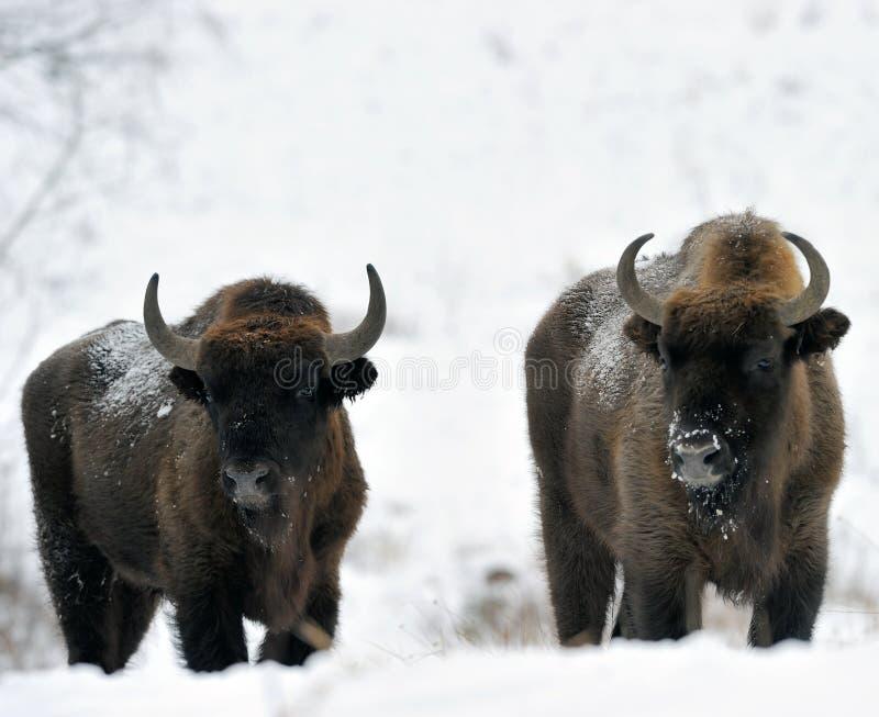 Twee bizons royalty-vrije stock fotografie