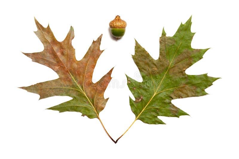 Twee bladeren van eik en eikel op witte achtergrond royalty-vrije stock afbeelding