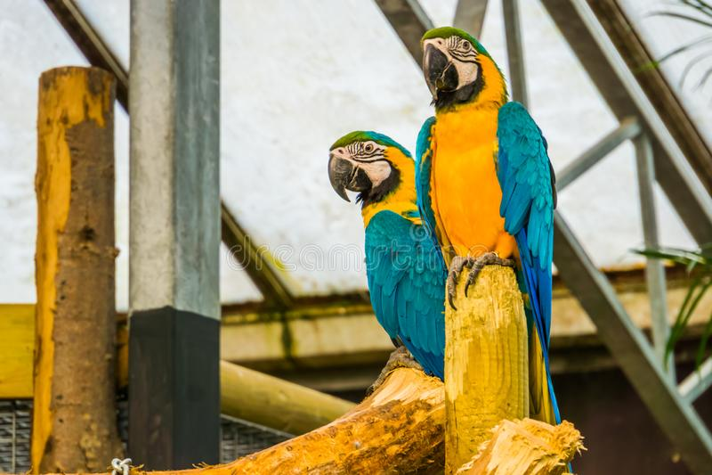 Twee blauwe en gele arapapegaaien die, populair tropisch huisdier van Amerika samen zitten stock afbeelding