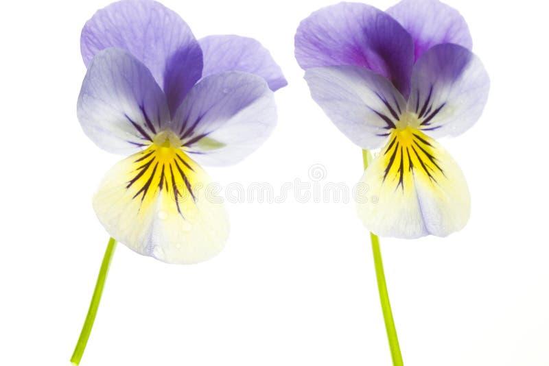 Twee Blauwe en Gele Pansies die op Witte Achtergrond wordt geïsoleerds royalty-vrije stock fotografie