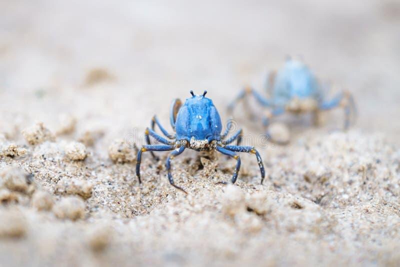 Twee Blauwe krabben die op het witte strand van Siquijor, Filippijnen, Azië lopen royalty-vrije stock afbeelding