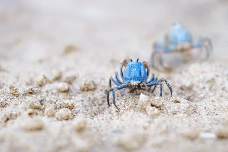 Twee Blauwe krabben van de rug op het witte strand van Siquijor, Filippijnen, Azië stock afbeeldingen