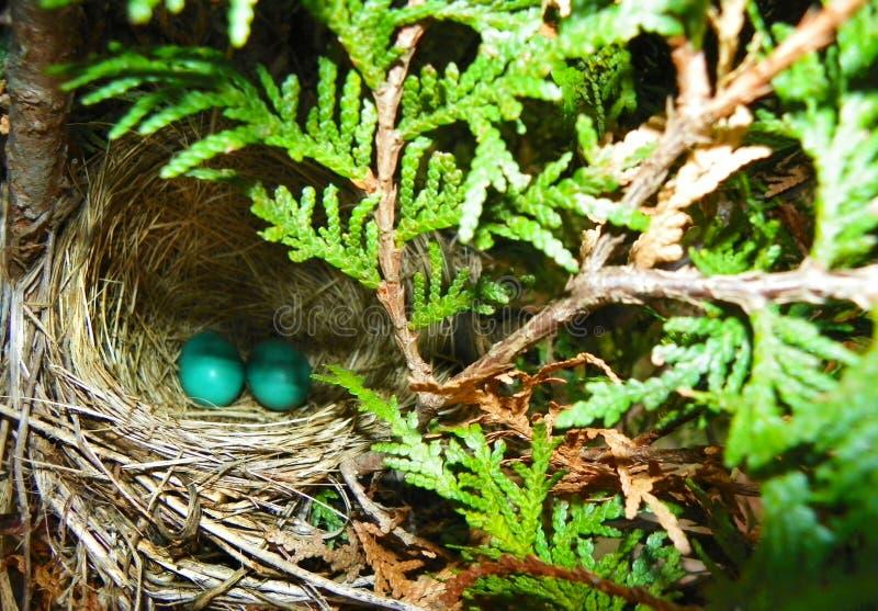 Twee blauwe Robins-eieren in nest royalty-vrije stock afbeelding