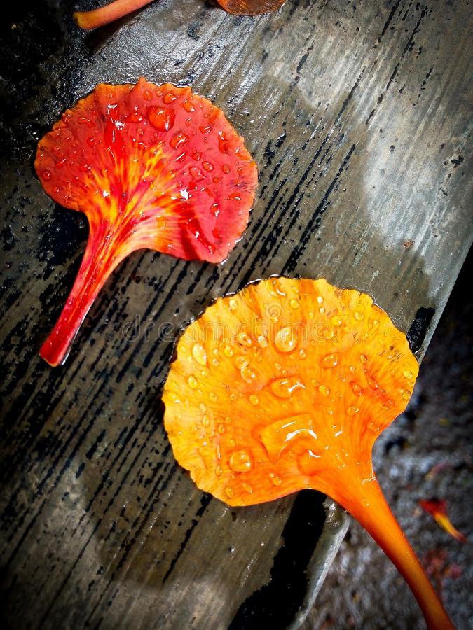 Twee bloembloemblaadjes, één rode sinaasappel en andere van geeloranje kleur van vlamboom of Gulmohar of Delonix Regina royalty-vrije stock afbeeldingen