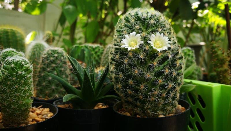 Twee bloemen van Cactus schijnen als mensen draagt glazen met groene aardachtergrond royalty-vrije stock afbeeldingen