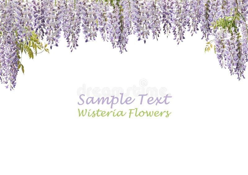 Twee Bloemen Wisteria stock afbeeldingen