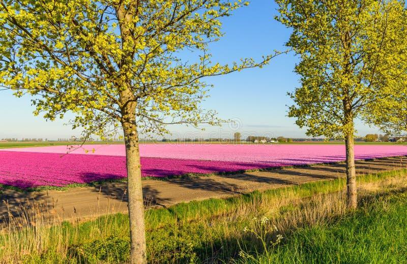 Twee bomen voor violette en roze tulpen die in rur tot bloei komen royalty-vrije stock fotografie