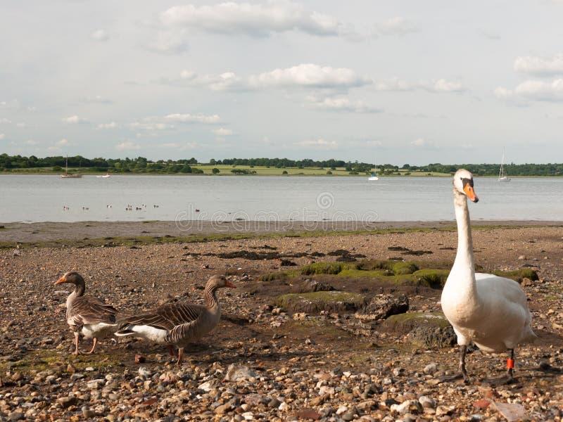 Twee boonganzen en een stodde zwaan op de strandkust bekijken camera royalty-vrije stock foto