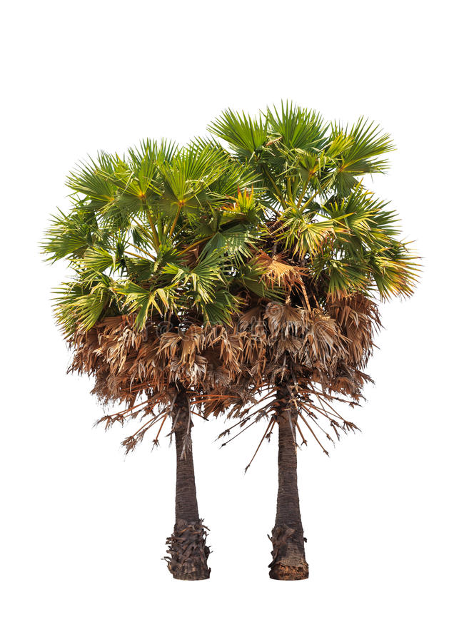 Twee borassus flabellifer bomen royalty-vrije stock fotografie