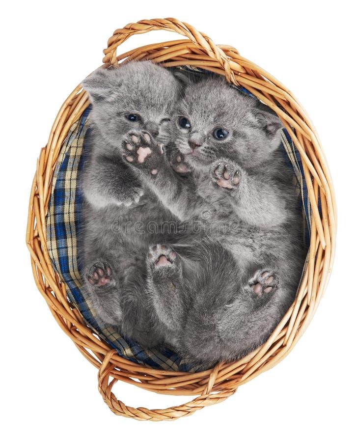 Twee Britse katjes in een mand royalty-vrije stock foto