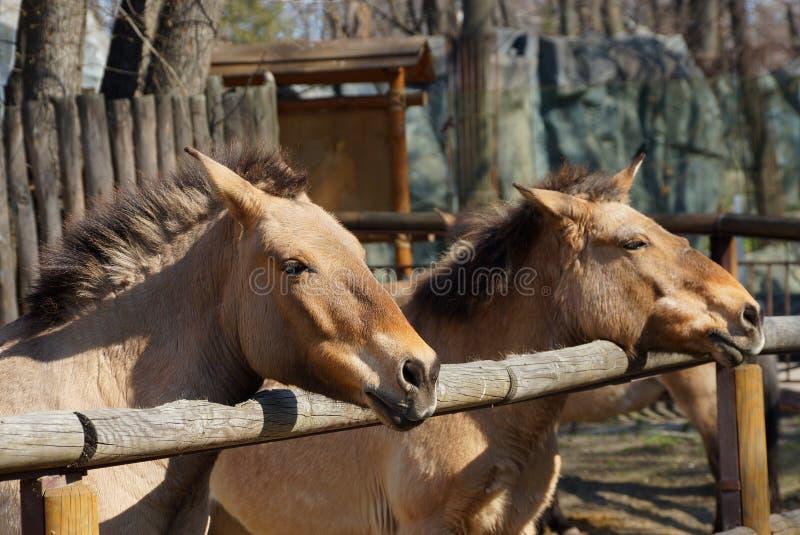 Twee bruine die paarden aan een houten omheining in de pen worden gebonden stock fotografie