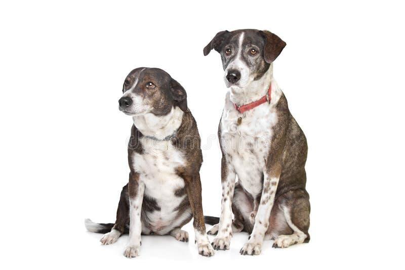 Twee bruine en witte gemengde rassenhonden stock foto's