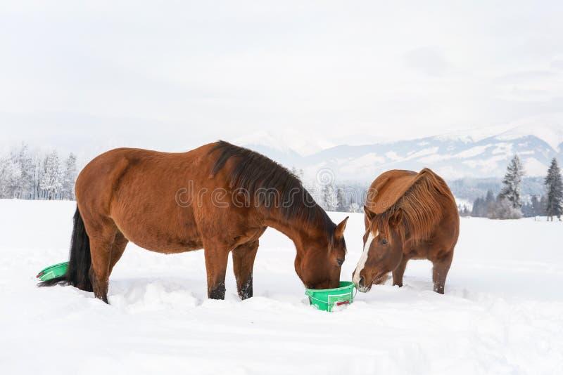 Twee bruine paarden die van groene plastic emmer op de winter, vage bomen en bergenachtergrond eten stock afbeelding