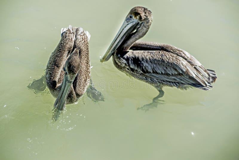 Twee Bruine Pelikanen die in oceaanwateren, close-up zwemmen royalty-vrije stock afbeeldingen