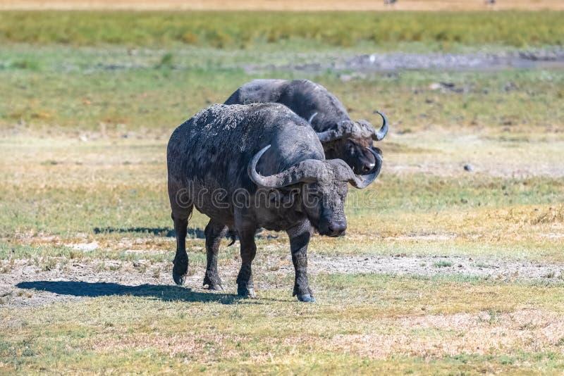 Twee buffels die zich in de savanne bevinden royalty-vrije stock fotografie