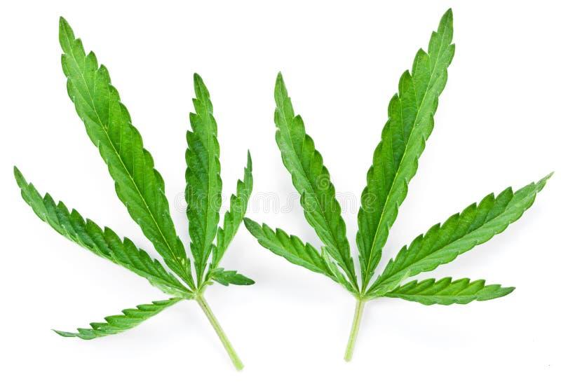 Geïsoleerdee het blad van de cannabis royalty-vrije stock foto's