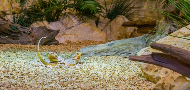 Twee centrale gebaarde draakhagedissen die bovenop elkaar, het reptiel plakken, reptielen van Australië leggen stock foto's
