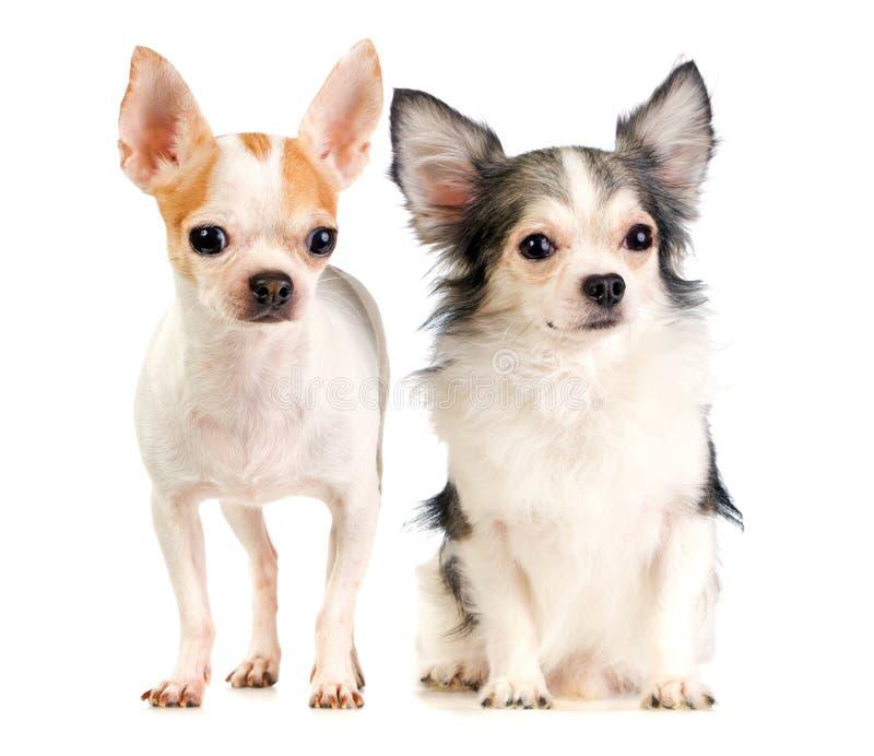 Twee Chihuahua stock foto's