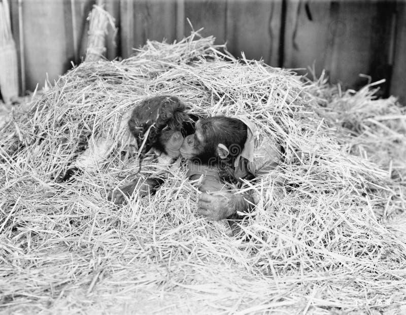 Twee Chimpansee het kussen in het hooi (Alle afgeschilderde personen leven niet langer en geen landgoed bestaat Leveranciersgaran royalty-vrije stock afbeelding
