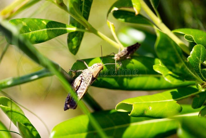 Twee cicaden willen contacteren stock afbeeldingen
