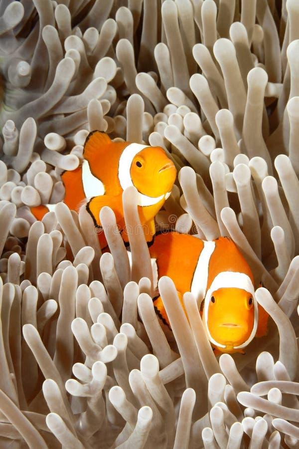 Twee Clownfish stock foto