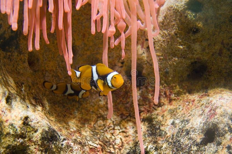 Twee Clownfish en Roze Anemonie stock foto