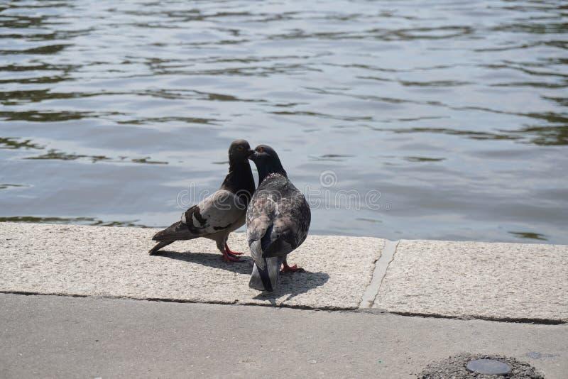 Twee cooing duiven op de steenbank van de rivier dichtbij het water maak andere veren, de verhouding tussen in paren gerangschikt royalty-vrije stock foto