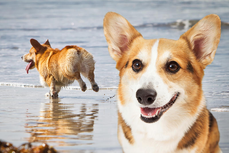 Twee Corgi-Honden die bij Strand spelen stock afbeeldingen