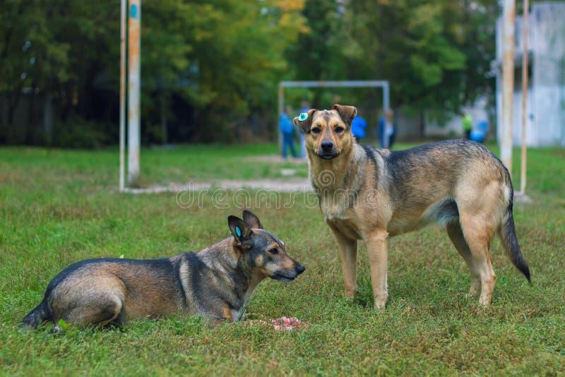 Twee dakloze honden royalty-vrije stock afbeelding
