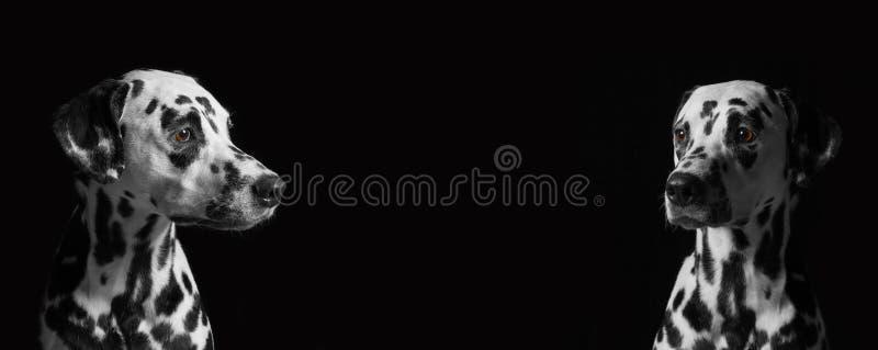 Twee Dalmatische honden tegen een zwarte achtergrond royalty-vrije stock foto's
