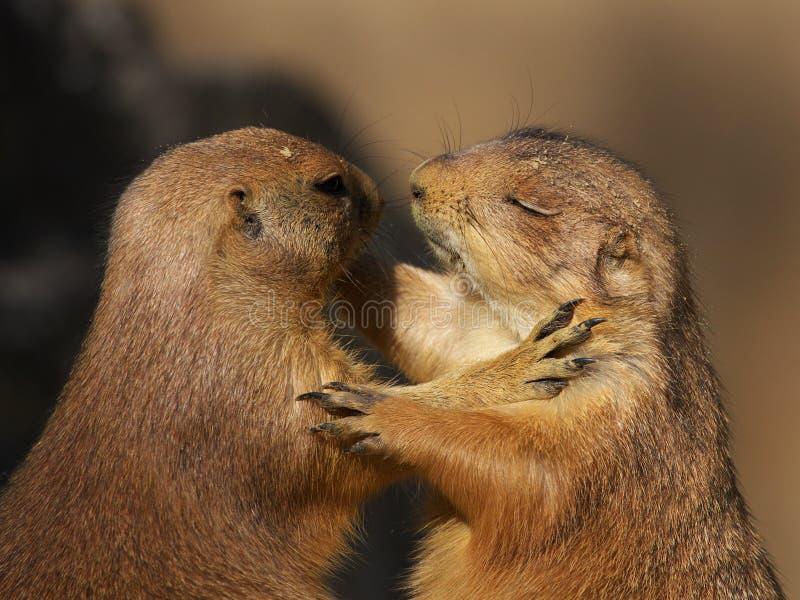 Twee dansende prairiehonden stock foto