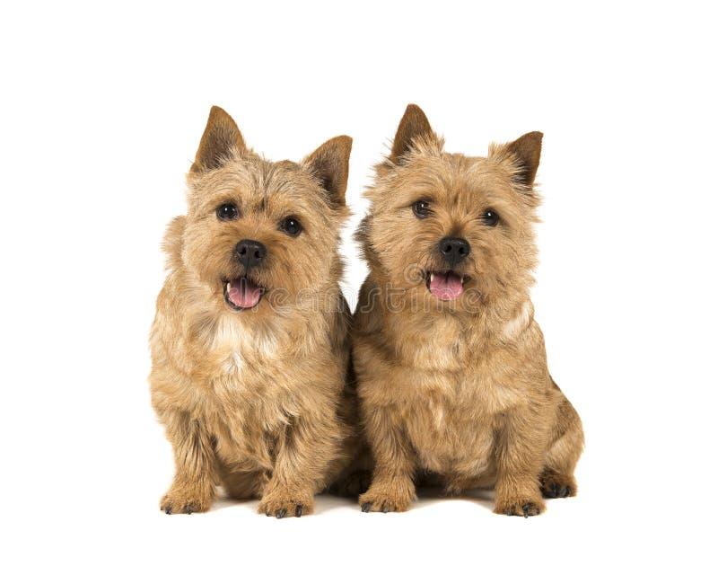 Twee de leuke die Norwich zitting van de terriërhond op een witte backgro wordt geïsoleerd stock foto