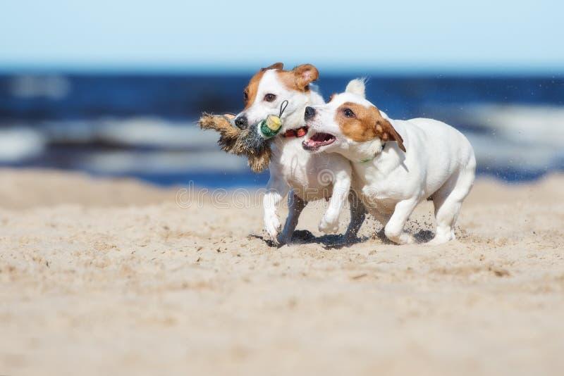 Twee de terriërhonden die van hefboomrussell op een strand spelen stock foto