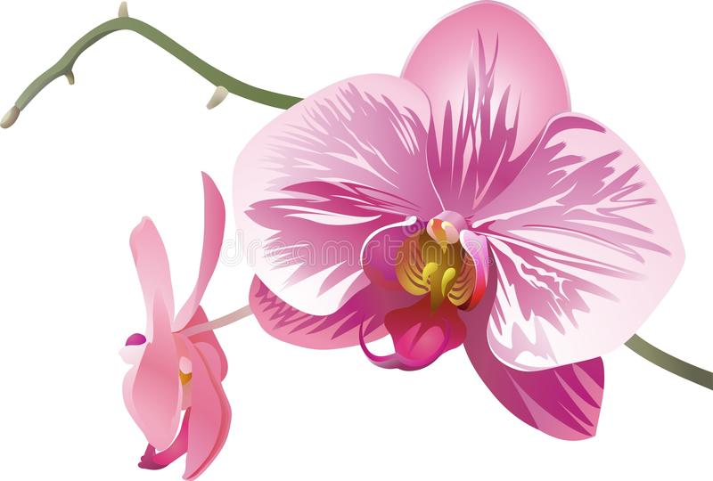 Twee decoratieve wit-roze-purpere orchideeën stock foto's
