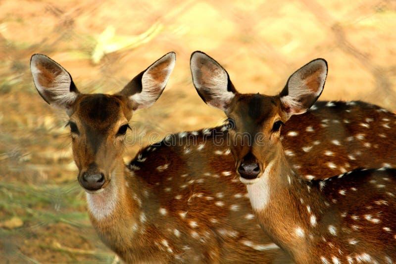 Twee deers die aan de camera kijken royalty-vrije stock foto's