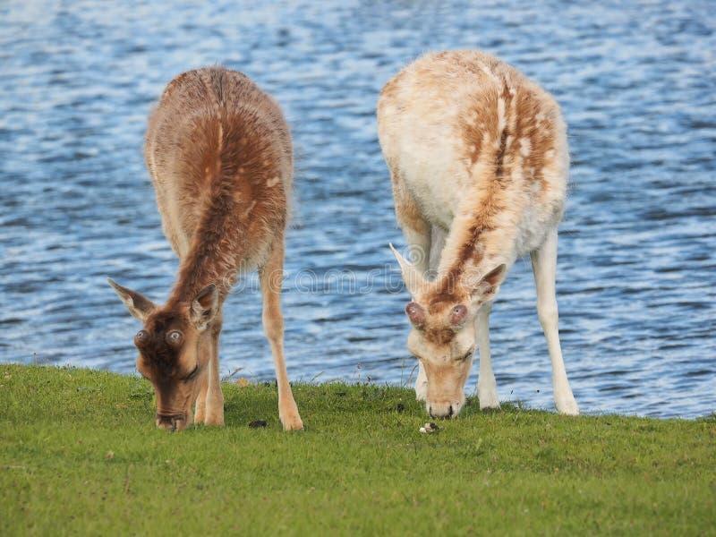 Twee deers weiden in de de watervoorzieningsduinen van Amsterdam dichtbij aan Amsterdam en Zandvoort stock fotografie