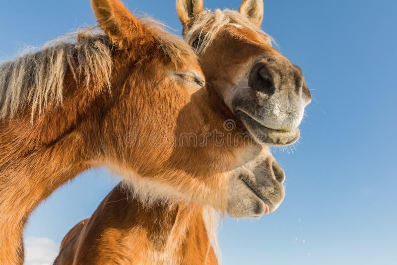 Twee dichte omhooggaand van het paardportret in liefde, Paardliefde, Belgisch paard Boheems-Moravian in zonnige dag Tsjechische R stock afbeeldingen