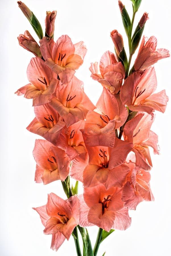 Twee die bloemen van koraalgladiolen op witte achtergrond worden geïsoleerd royalty-vrije stock foto's