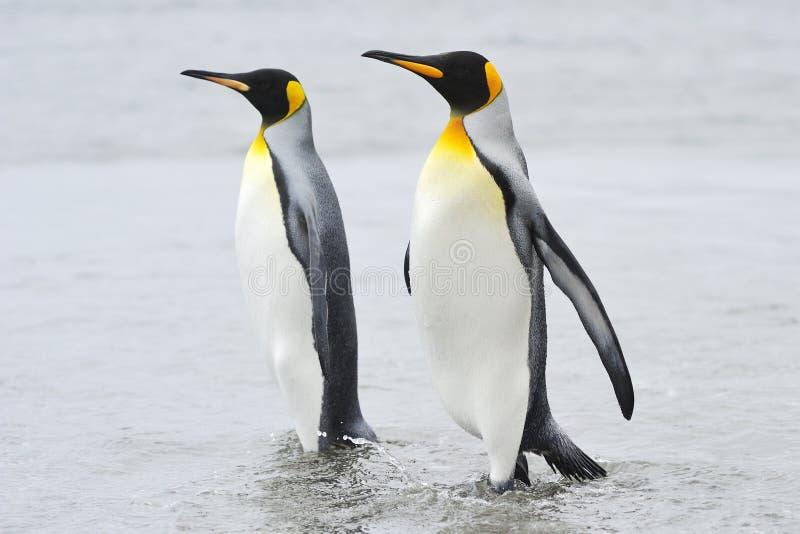 Twee die Koning Penguin (Aptenodytes-patagonicus) achter elkaar lopen stock foto's