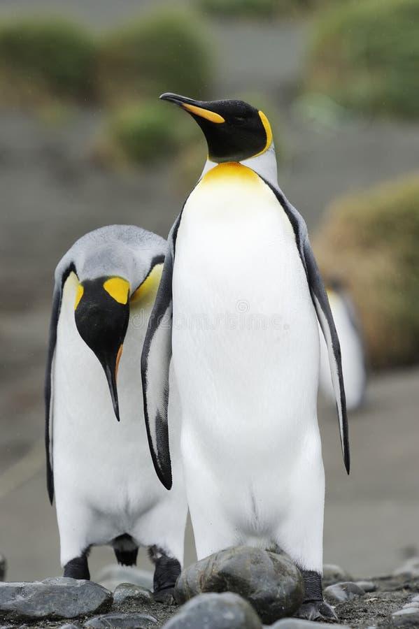 Twee die Koning Penguin (Aptenodytes-patagonicus) achter elkaar lopen royalty-vrije stock foto